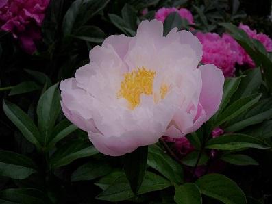 牡丹の花b (2).jpg